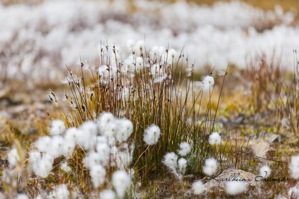 Cotton grass, genus eriophorum, Scoresby Sund